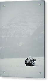 A Snow-covered American Bison Stands Acrylic Print by Michael S. Quinton