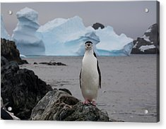 A Solitary Chinstrap Penguin Stands Acrylic Print by Paul Nicklen