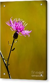 A Solitary Moment Acrylic Print by Nancy Harrison