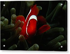 A Spinecheek Anemonefish Premnas Acrylic Print by Tim Laman