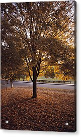 A Tree In Autumn Foliage On The Grounds Acrylic Print by Sam Abell