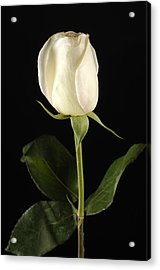 A White Rose Rosaceae Acrylic Print by Joel Sartore
