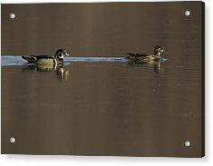 A Wood Duck Aix Sponsa Pair Acrylic Print by Tim Laman