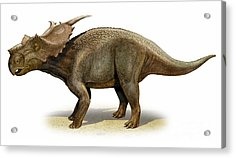 Achelousaurus Horneri, A Prehistoric Acrylic Print by Sergey Krasovskiy