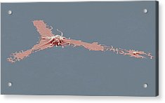 Activated Platelet, Sem Acrylic Print by Steve Gschmeissner