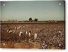 African American Day Laborers Picking Acrylic Print by Everett
