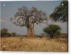 African Baobab Tree In The Tarangire Acrylic Print by Gina Martin