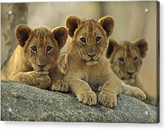African Lion Three Cubs Resting Acrylic Print by Tim Fitzharris