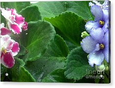 African Violets Intertwined II Acrylic Print by Nancy Mueller