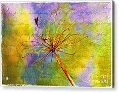 Agapanthus Acrylic Print by Judi Bagwell
