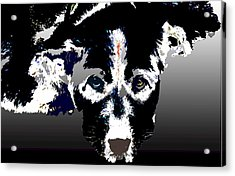 Akita Chow Acrylic Print by One Rude Dawg Orcutt