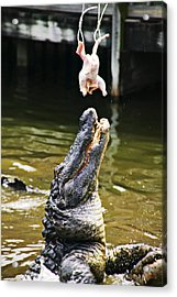 Alligator Feeding Acrylic Print by Garry Gay