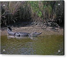 Alligator Acrylic Print by Robert Brown