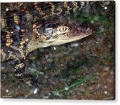 Alligator Acrylic Print by Suhas Tavkar