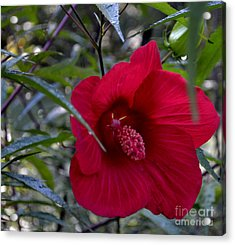 Almost Opened Hibiscus Acrylic Print by Eva Thomas