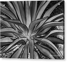 Aloe Black And White Acrylic Print by Rebecca Margraf