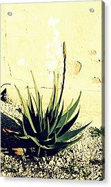 Aloe Acrylic Print by Laurel Heritage