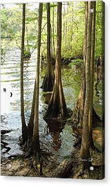 Along The Waccamaw - Cypress Swamp Acrylic Print by Suzanne Gaff