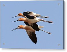 American Avocets Acrylic Print by Phil Lanoue