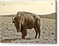 American Bison In Gold Sepia- Right View Acrylic Print by Tony Grider
