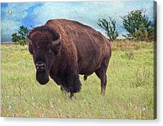 American Bison Acrylic Print by Tamyra Ayles
