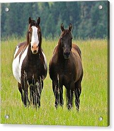 American Paint Stallion And Mare Acrylic Print by Karon Melillo DeVega