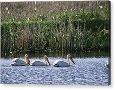 American White Pelicans Pelecanus Acrylic Print by Phil Schermeister
