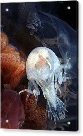 Amphipod Inside A Lion's Mane Jellyfish Acrylic Print by Alexander Semenov