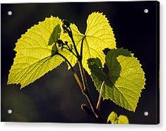 Amur River Grape Leaves (vitis Amurensis) Acrylic Print by Dr. Nick Kurzenko