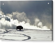 An American Bison Bison Bison Covered Acrylic Print by Norbert Rosing