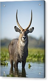 An Antelope Standing In Shallow Water Acrylic Print by David DuChemin