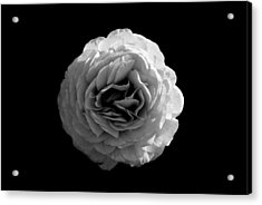 An English Rose Acrylic Print by Sumit Mehndiratta