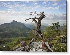 Ancient Pine On Hawksbill Mountain Acrylic Print by Keith Clontz