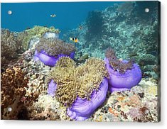 Anemones With Anemonefish Acrylic Print by Georgette Douwma