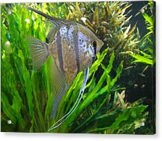 Angel Fish Acrylic Print by Tanya Moody