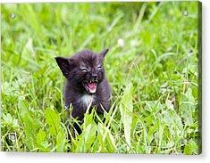 Angry Kitten Acrylic Print by Michal Boubin