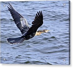 Anhinga In Flight Acrylic Print by Roger Wedegis