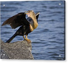 Anhinga Looking Back Acrylic Print by Roger Wedegis