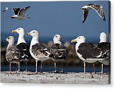 Annual Seagull Congress Acrylic Print by Michael Mogensen