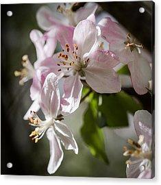 Apple Blossom Acrylic Print by Ralf Kaiser