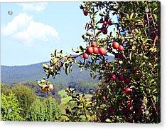 Apples On A Tree Acrylic Print by Susan Leggett