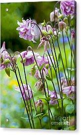 Aquilegia In Spring Flowers Acrylic Print by Donald Davis
