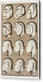 Artwork Of Twelve Catarrhines, 1870 Acrylic Print by Mehau Kulyk