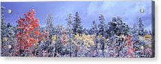 Aspens In Fall With Snow, Near 100 Mile Acrylic Print by David Nunuk