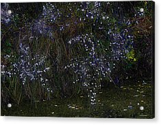 Aster Days Acrylic Print by Ron Jones