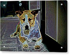 Australian Cattle Dog Boxer Mix Acrylic Print by One Rude Dawg Orcutt