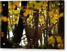 Autumn Doe Acrylic Print by Scott Hovind