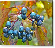 Autumn Viburnum Berries Series #4 Acrylic Print by Mother Nature