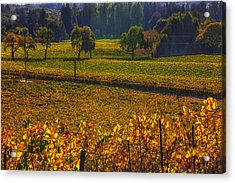 Autumn Vineyards Acrylic Print by Garry Gay