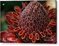 Awapuhi Ko Okoo - Torch Ginger - Etlingera Elatior  - Phaeomeria Magnifica - Hoolawa Liilii Hawaii Acrylic Print by Sharon Mau